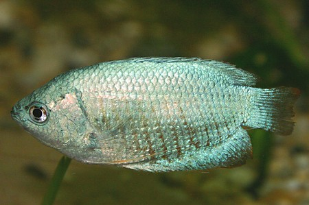 Another Male Cobalt Blue Dwarf Gourami (Colisa lalia)