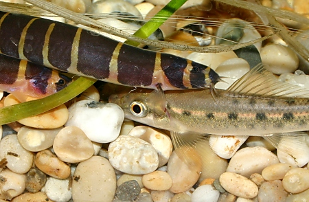 Spot the loach - there are two Kuhli loaches and one algae loach in this picture