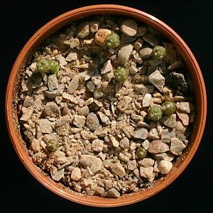 Four month old Lophophora williamsii cactus seedlings