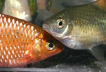 Male and female neon rosy barb