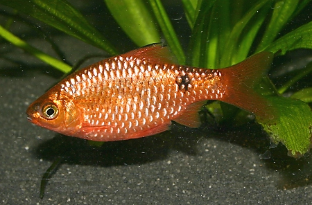 A male neon rosy barb